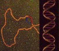 ADN na síntese de proteínas